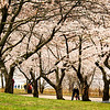 Cherry Blossoms 2012<br /> Cherry Blossoms in bloom in High Park Toronto Ontario