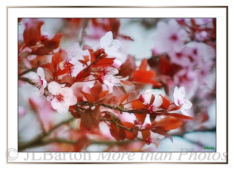 Cherry Plum Blossoms Prunus cerasifera Botanical Garden in Mijas