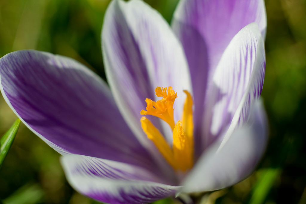 First crocus of 2010