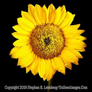 Sunflower - Copyright 2018 Steve Leimberg UnSeenImages Com 2018-08-04 11-17-12 (A,Radius8,Smoothing4)