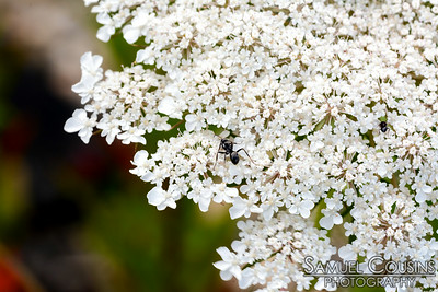 Ant on Queen Anne's Lace