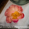 Peony on Table - Copyright 2015 Steve Leimberg - UnSeenImages Com _Q2Q2191