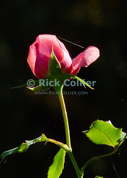 "New Rose at dawn.  © Rick Collier<br /> <br /> <br /> <br /> flower flowers rose roses bud ""rose bud"" dawn profile closeup"