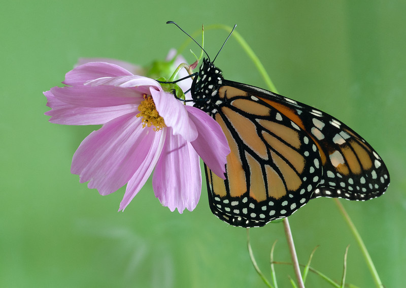 Monarch and Cosmo