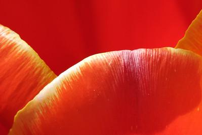 Tulip petal, #2