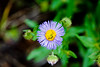 Alpine Daisy (Erigeron simplex), a member of the Sunflower, found in Glacier National Park