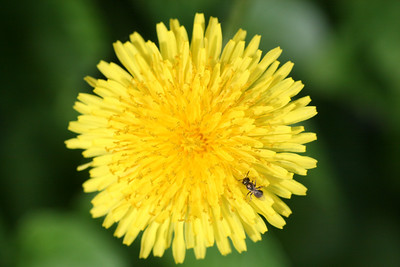Dandelion Crawling in Lewiston, Maine #1635