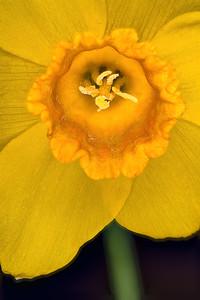 Daffodil FS#1