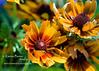 yellow daisy closeup cropped DSC_9680 1