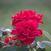 red rose three