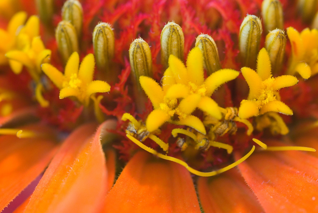 Orange/red zinnia