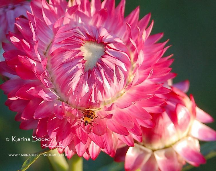 Straw Flowers