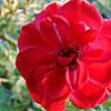 Minature Rose