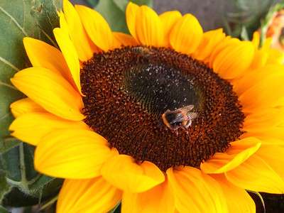 Sunflower. Photo: Martin Bager.