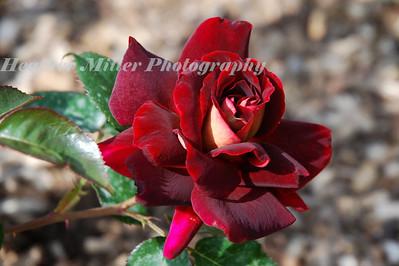 LM Dark Knight Rose--0125