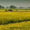 15-Mustard Field<br /> Rajasthan, India
