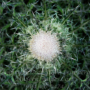 Top of a Thistle - Copyright 2017 Steve Leimberg - UnSeenImages Com _Z2A7924