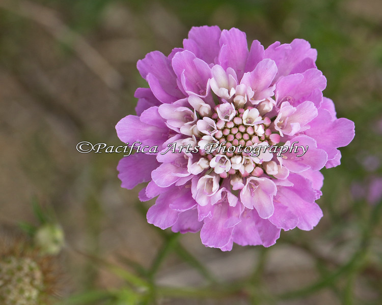 """This little wildflower (about 1"""" dia) turned out to be a bouquet of little flowers in one."""