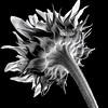 Becky's Sunflower - B&W Copyright 2016 Steve Leimberg - UnSeenImages Com L1010660