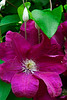 Bright fuscia colored Clematis - Great Tew, England