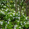 Forest Trillium 3
