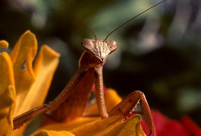 Mantis Sentinel