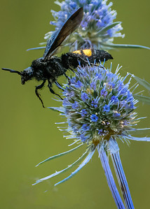 Thistle with Wasp