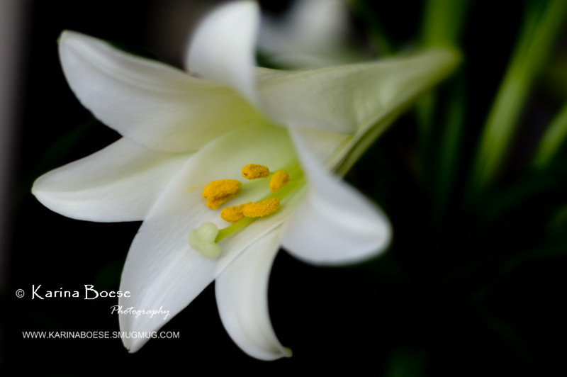 DSC_9841 easter lily flower 2010 1
