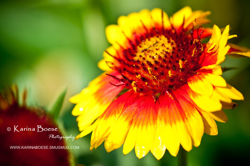 yellow fanfare blanket flower-8546
