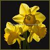 Dafodills announcing Springtime!