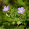 Wild Geranium - May 2008