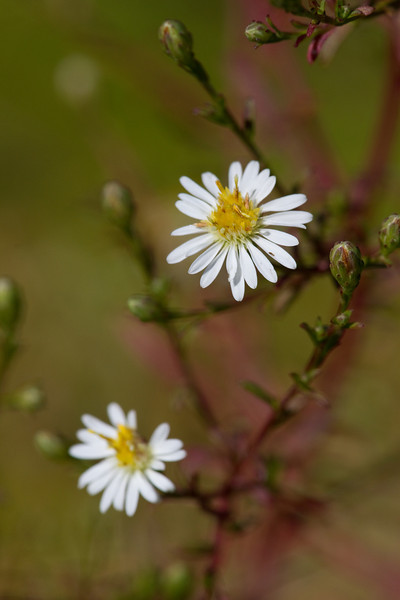Aster - August 28, 2010