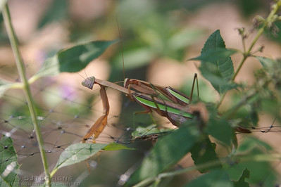mating mantis
