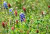6x4 #9259 (jester bluebonnets-crimson clover)