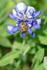 4x6 #9625 (bee-bluebonnet)