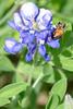 4x6 #9619 (bee-bluebonnet)