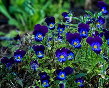 Blue Purple Yellow Center Flowers