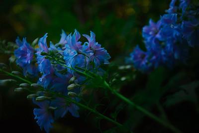 Soft purple Blue Flowers