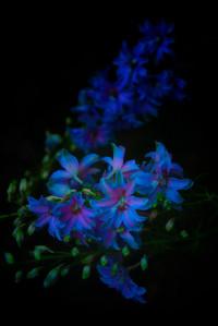 Soft purple Blue Flowers2