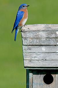 Bluebird male.