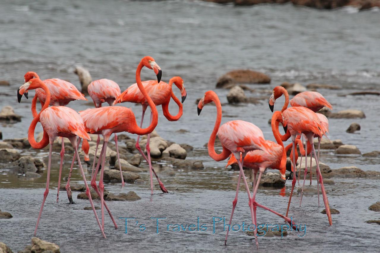 Flamingos, Bonaire '13