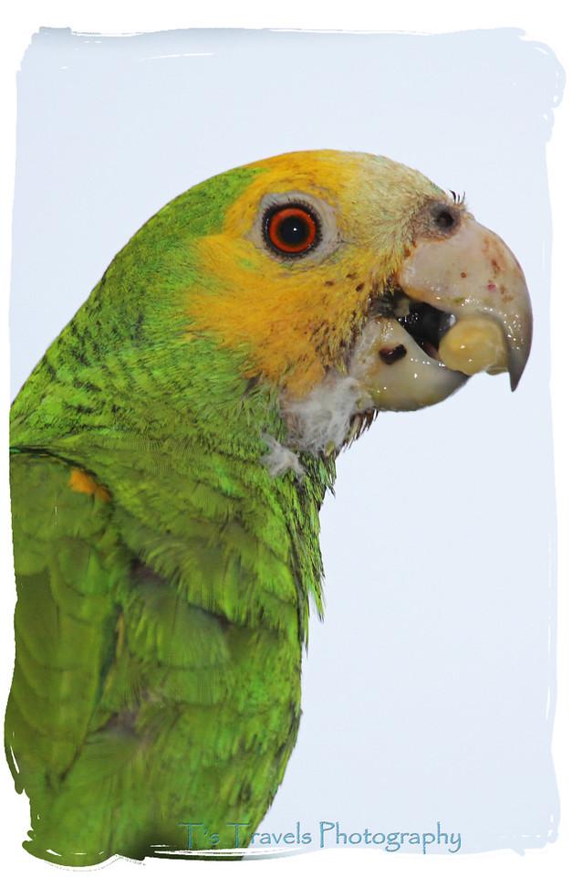 Parrot, Bonaire '13