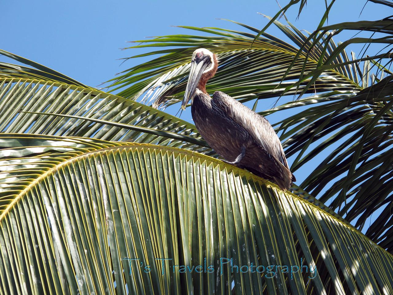 Pelican, Cayos Cachinos, Bay Islands.
