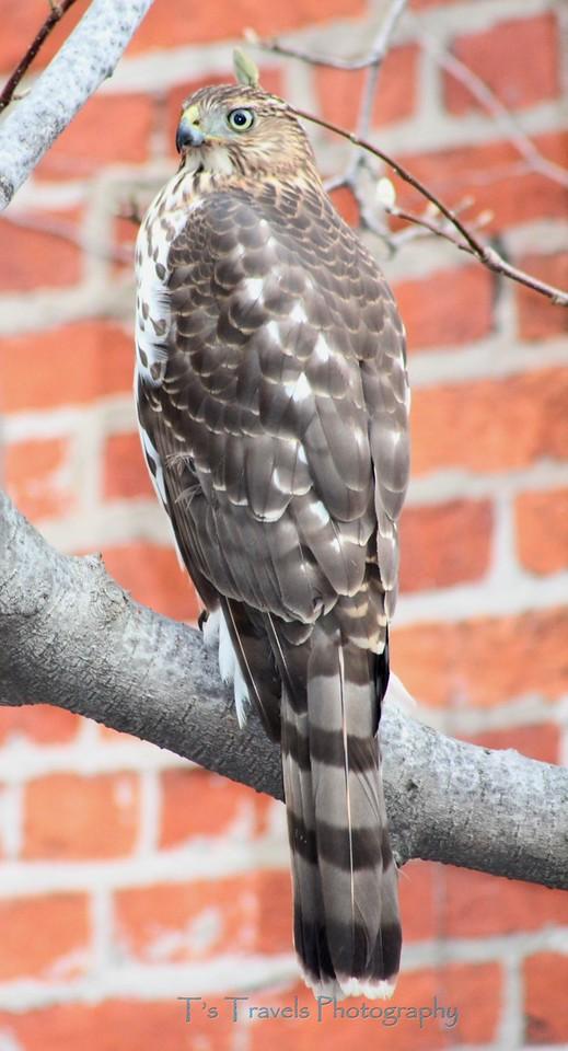 Hawk at Zion Church, Baltimore, MD