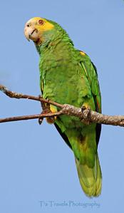 Parrot, Bonaire '07