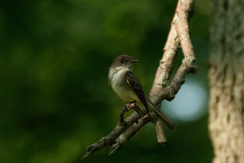 Flycatcher sp (2)