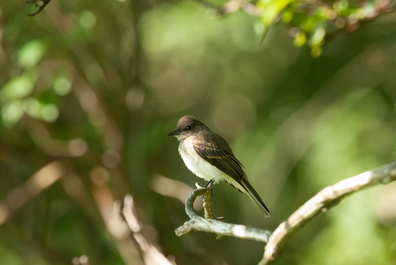 Eastern Wood Pewee (1)