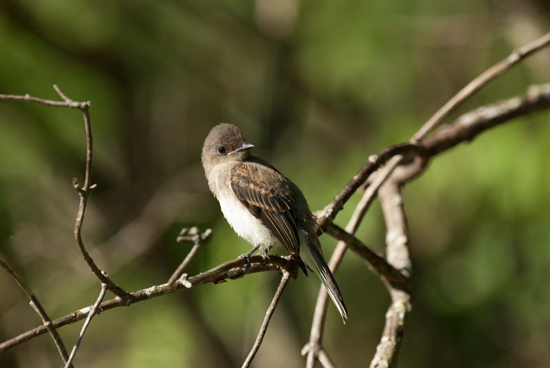 Eastern Wood Pewee (2)