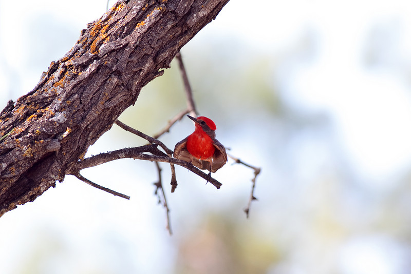 Male Vermillion Flycatcher