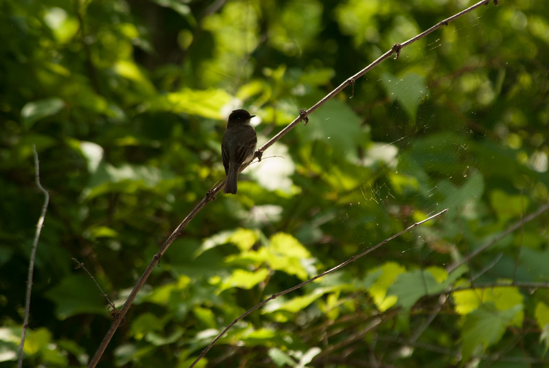 Flycatcher sp